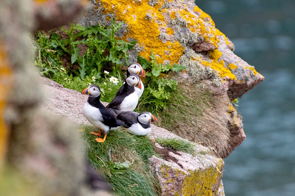 Four Puffin's