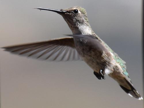 nikon nikond3500 nikonphotography nature naturephotography summer 2019 summer2019 landscape hummingbird annas bird annashummingbird birding