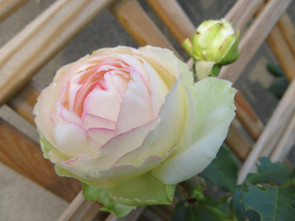 Rose Pierre De Ronsard Pierre De Ronsard Rose Flickr