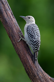 Red Bellied Woodpecker Fledgling | by Rob & Amy Lavoie