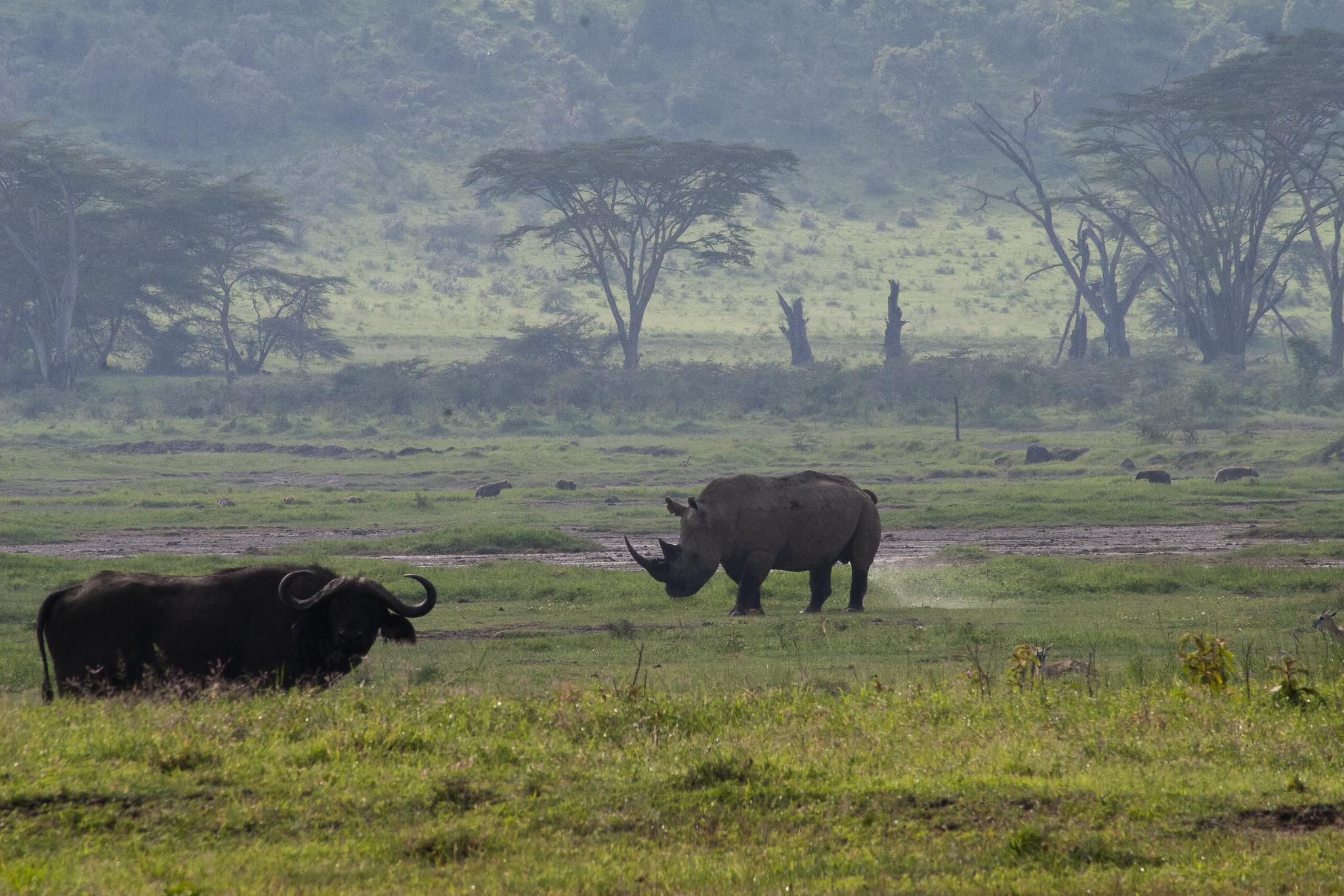 Rinoceronte y Búfalo