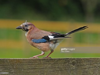 Eurasian Jay | by Gary Chalker, Thanks for over 4,000,000. views