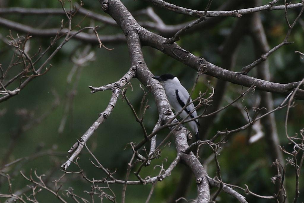 Black-crowned Tityra - Tityra inquisitor - Aguirre, Puntarenas, Costa Rica - June 14, 2019
