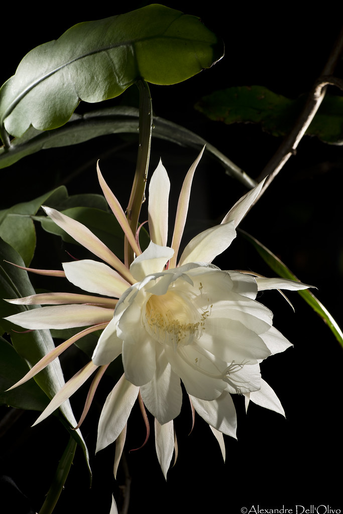 Epiphyllum oxypetalum_DSC1883