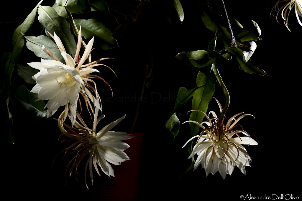 Epiphyllum oxypetalum_DSC1891