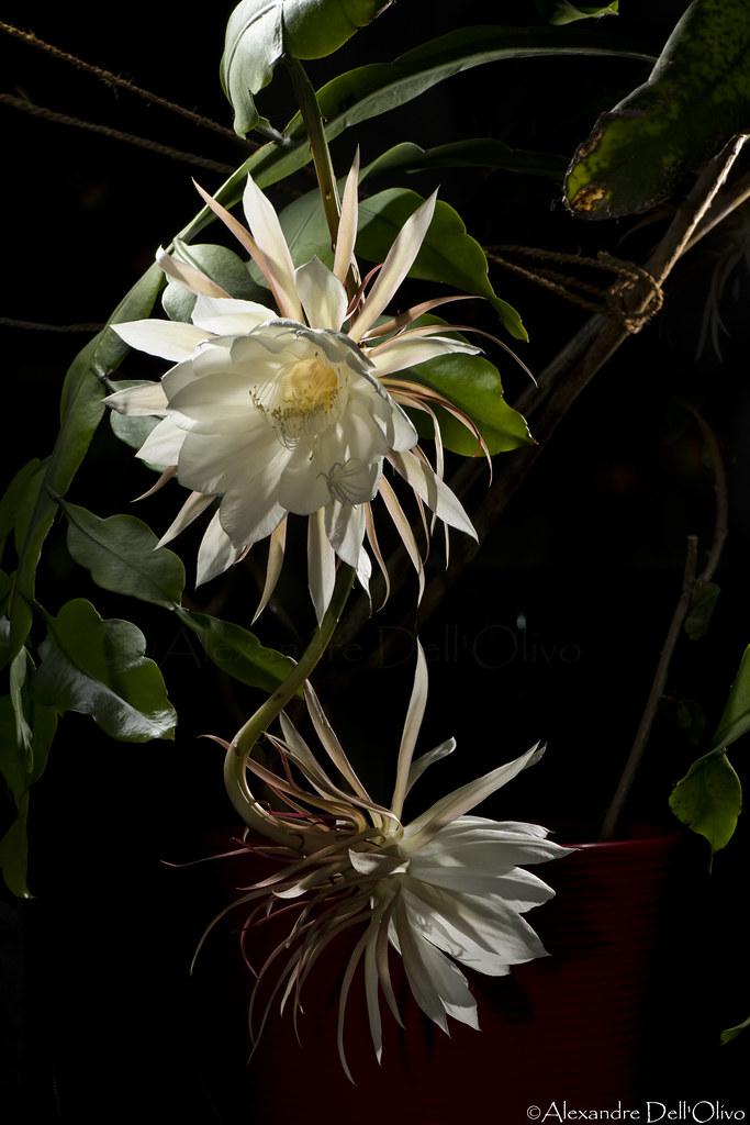 Epiphyllum oxypetalum_DSC1888