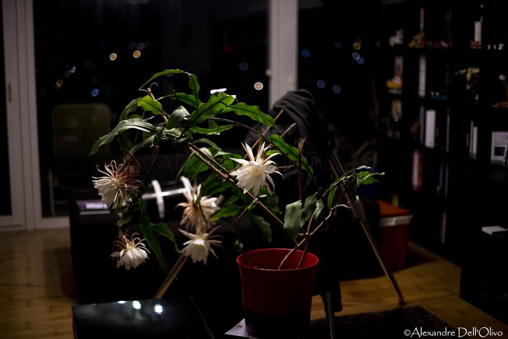 Epiphyllum oxypetalum_DSC1913