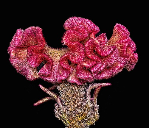 Celosia --- Fire-pot / Cockscomb
