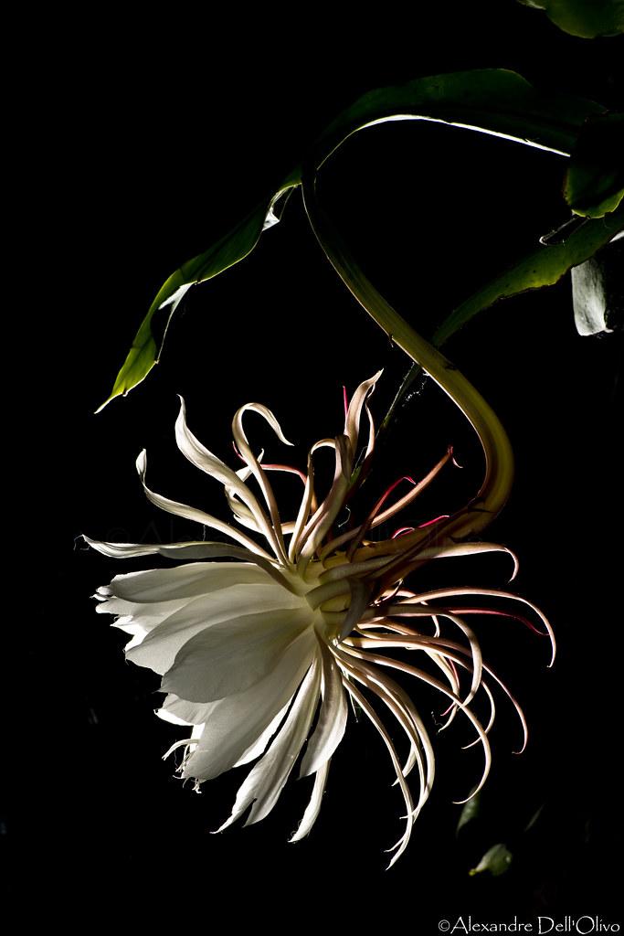 Epiphyllum oxypetalum_DSC1901