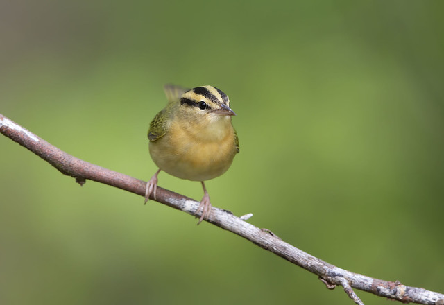 Worm-eating Warbler.