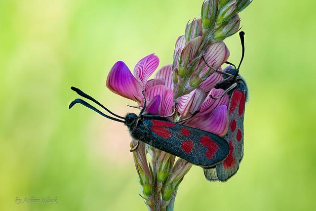 Zwei Beilfleck-Rotwidderchen oder Beilfleck-Blutströpfchen (Zygaena loti) bei der Paarung auf einer Esparsette (Onobrychis)
