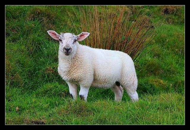 Ballycastle Murlough bay NIR - Sheep