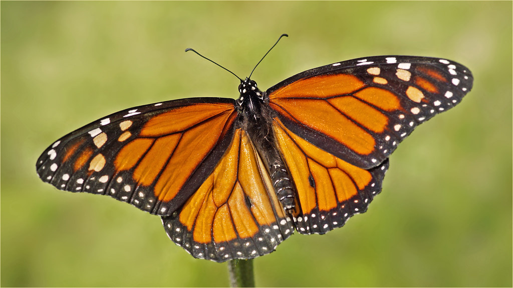 Wonderful monarch