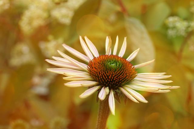Echinacea in the Sun,...