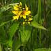 Flickr photo 'Lysimachia vulgaris - Yellow Loosestrife' by: pihlaviita.