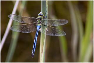 Empereor Dragonfly 2