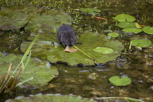 Water vole 1