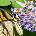 Flickr photo 'Butterfly Proboscis' by: David Illig.
