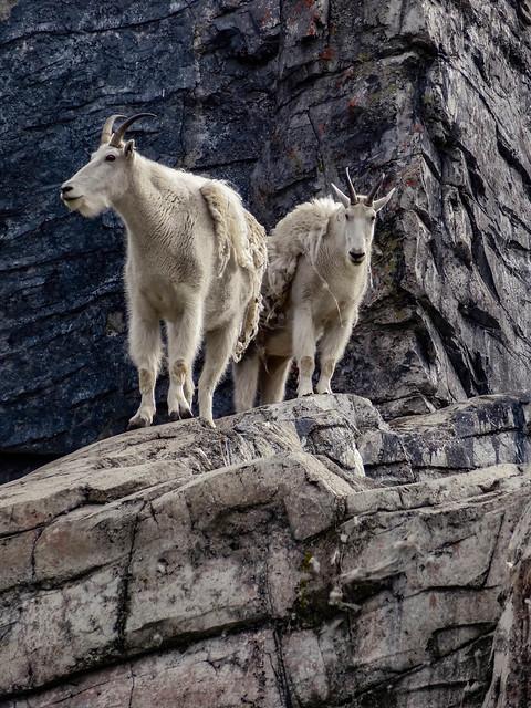 Shedding Mountain Goats