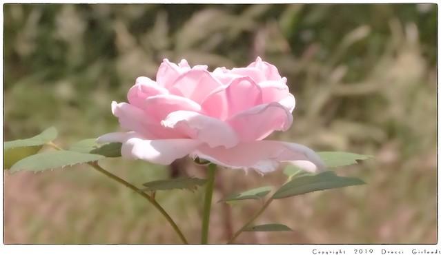 Rose Caresse