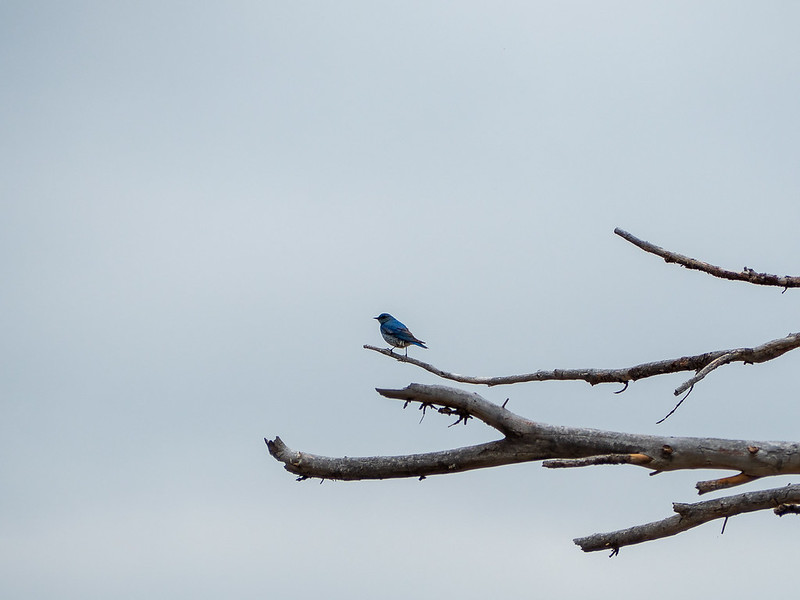 Mountain blue bird in Vedauwoo