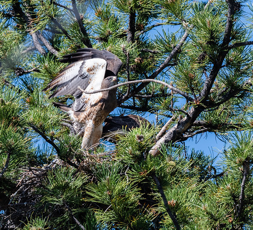 swainsons_hawk_flying_from_nest-20190705-100