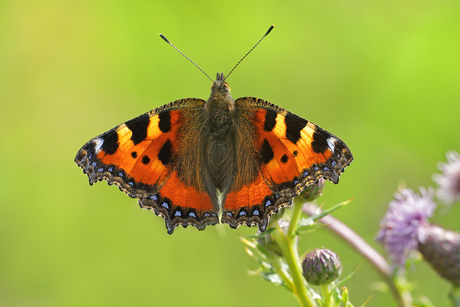 Small Tortoiseshell, Ditchling Common
