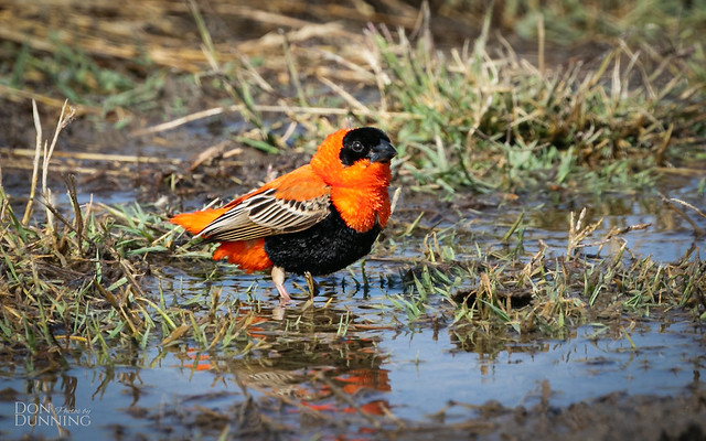 Northern Red Bishop Male (Euplectes franciscanus)