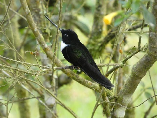Collared Inca (Coeligena torquata) (♂)
