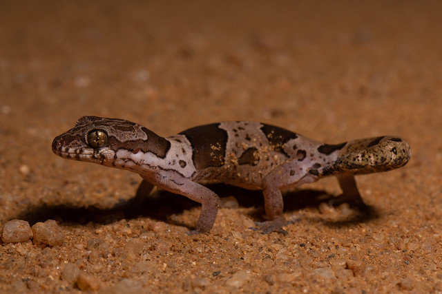 Northern Sri Lanka Gecko - Cyrtodactylus yakhuna