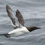 Common murre, Witless Bay Islands Park Reserve, Newfoundland