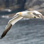 Northern gannet, Cape St. Mary's Ecological Reserve, Newfoundland