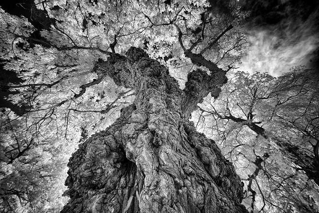 _DSC2313 Warty Willow Tree