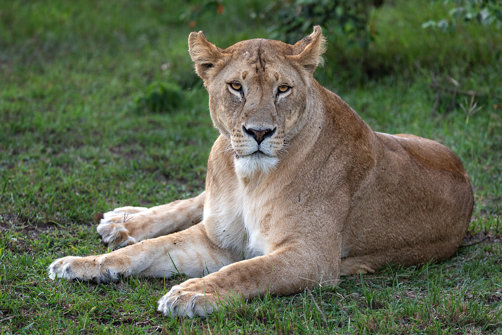 Cheli Pride Lioness at Rest