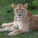 Image: Cheli Pride Lioness at Rest