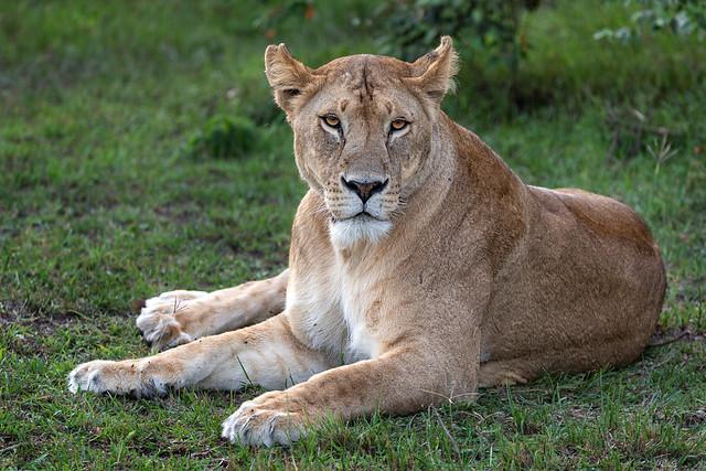 Cheli Pride Lioness at Rest