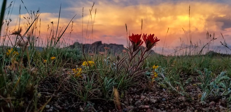 Indian paintbrush at Vedauwoo as the sun sets 2019-07-06