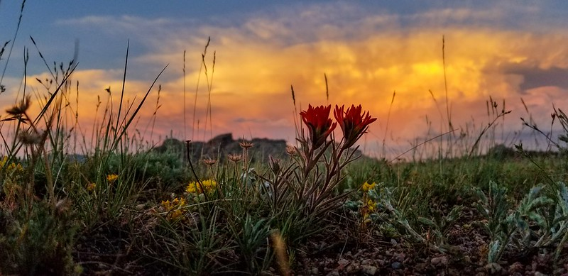 Indian paintbrush after the storm2019-07-06