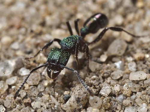 ant australia ectatomminae formicidae hymenoptera insecta queensland rhytidoponera vespoidea crowsnest rhytidoponerametallica greenheadant