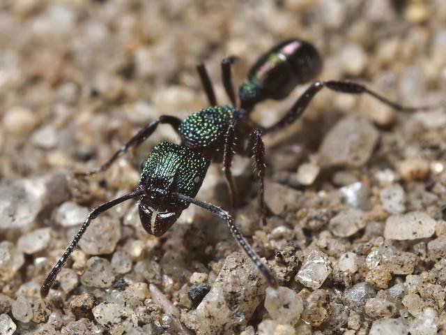 Rhytidoponera metallica, Green-head Ant