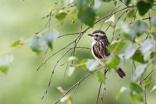 Whinchat 03 Derbyshire 06-07-2019 Ian W | by bo_nzo