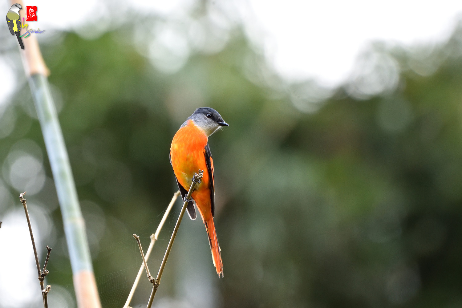 Grey-chinned_Minivet_6909