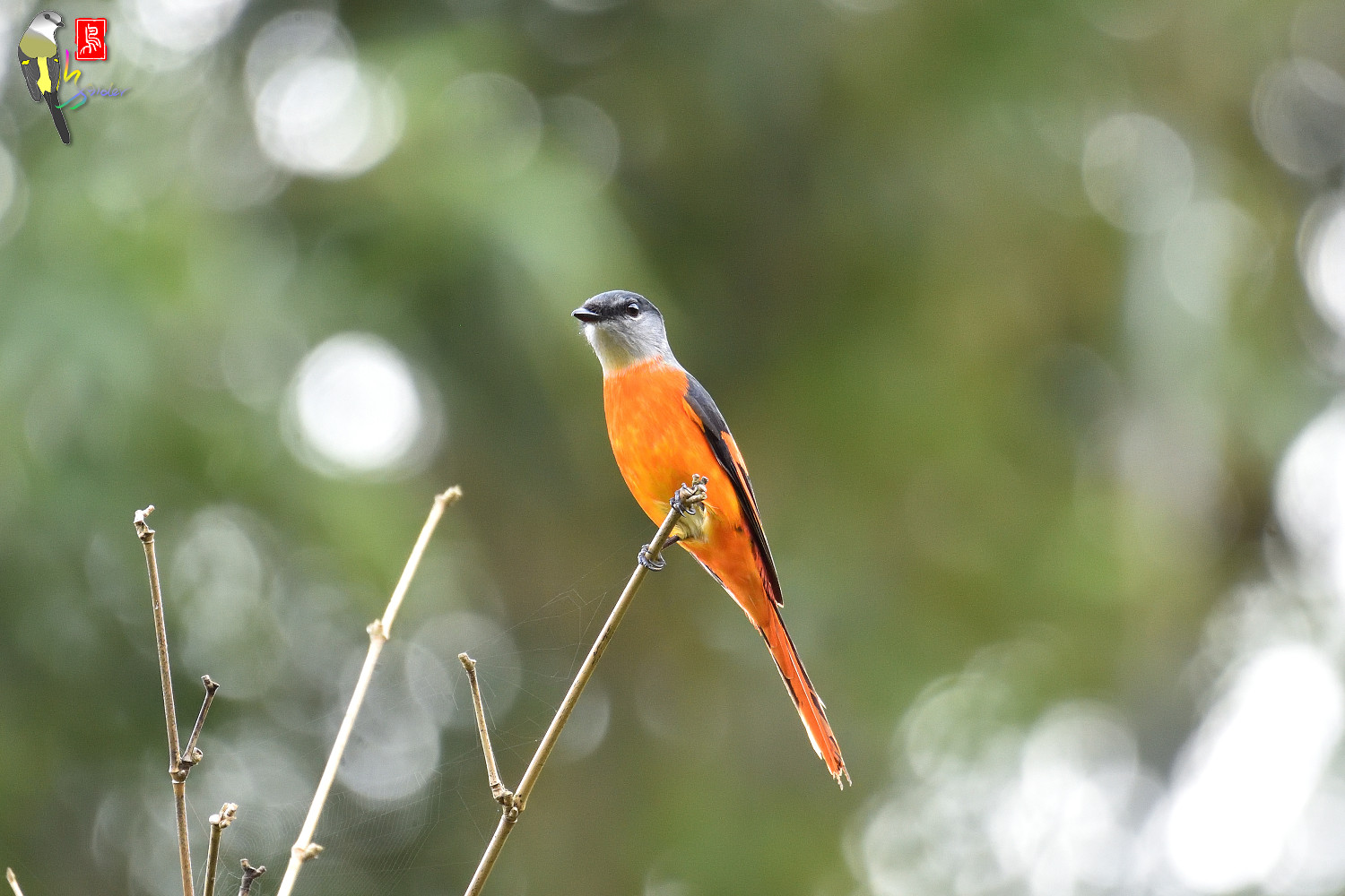 Grey-chinned_Minivet_6861