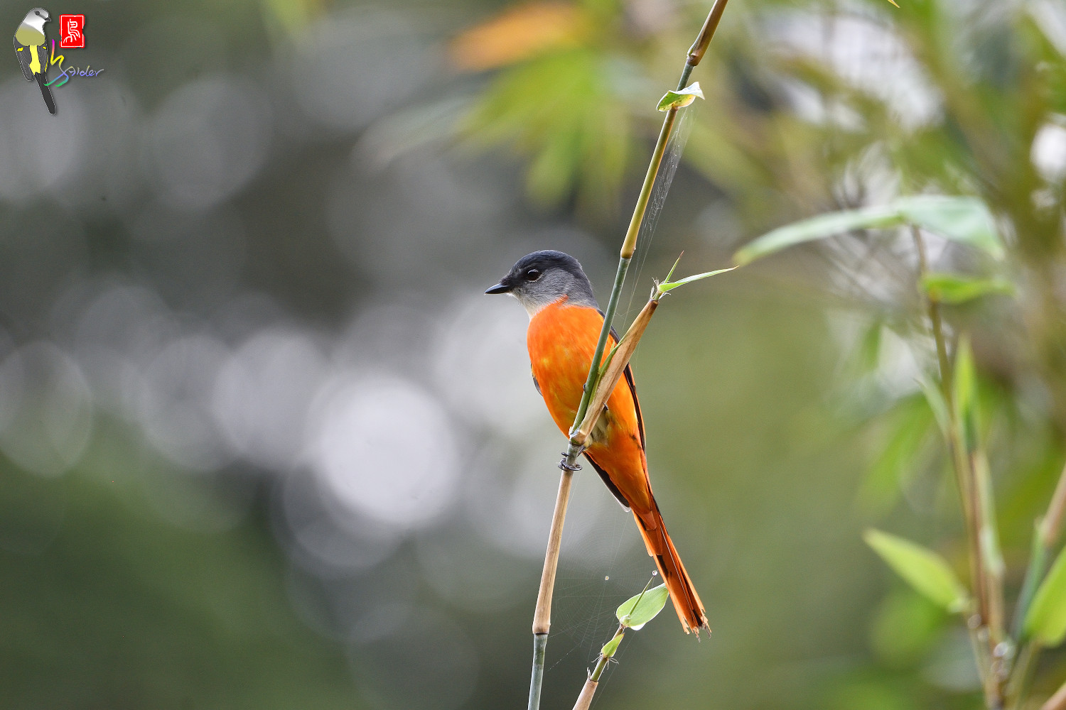 Grey-chinned_Minivet_6920