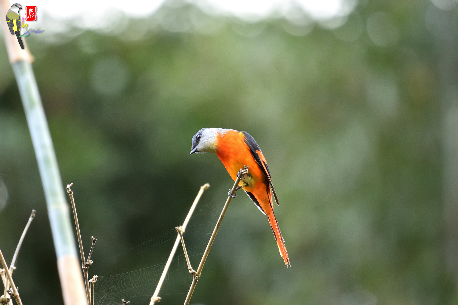 Grey-chinned_Minivet_6901