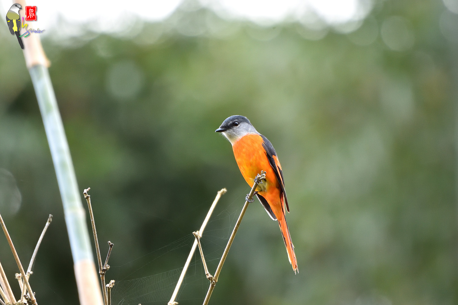 Grey-chinned_Minivet_6899