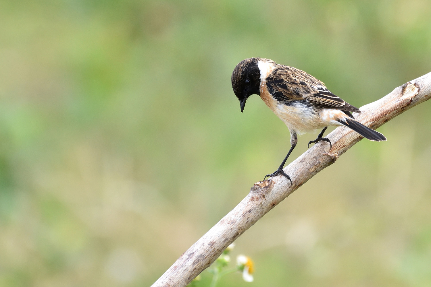 Common_Stonechat_2064