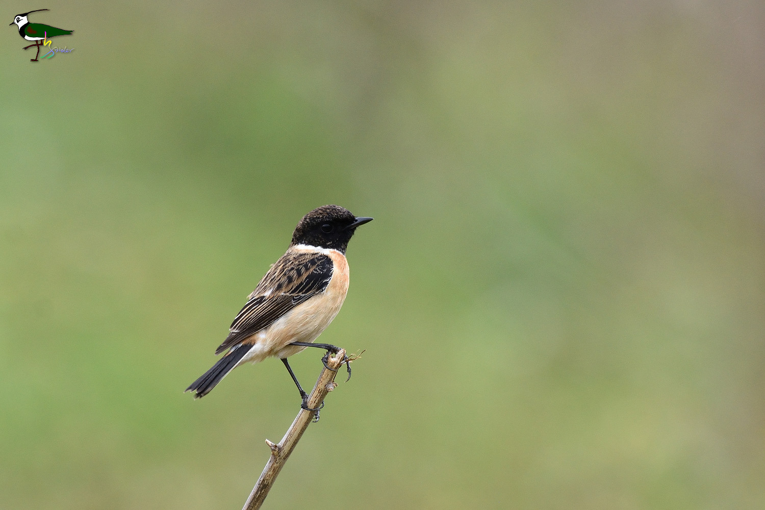 Common_Stonechat_2021