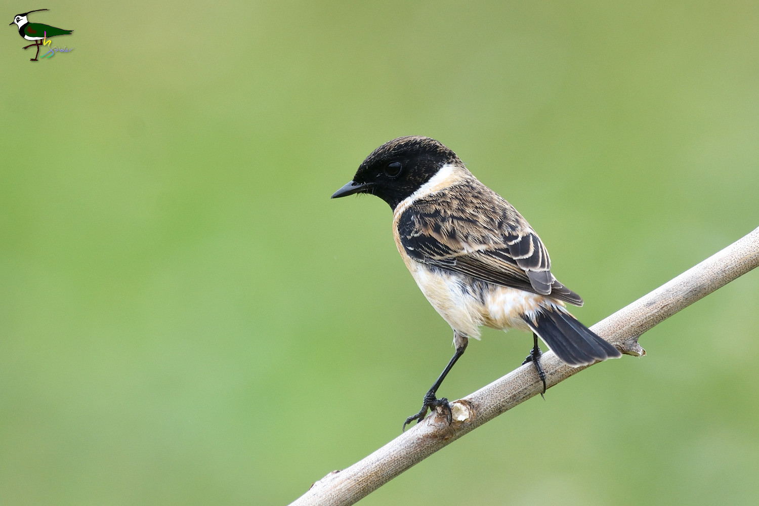 Common_Stonechat_2219