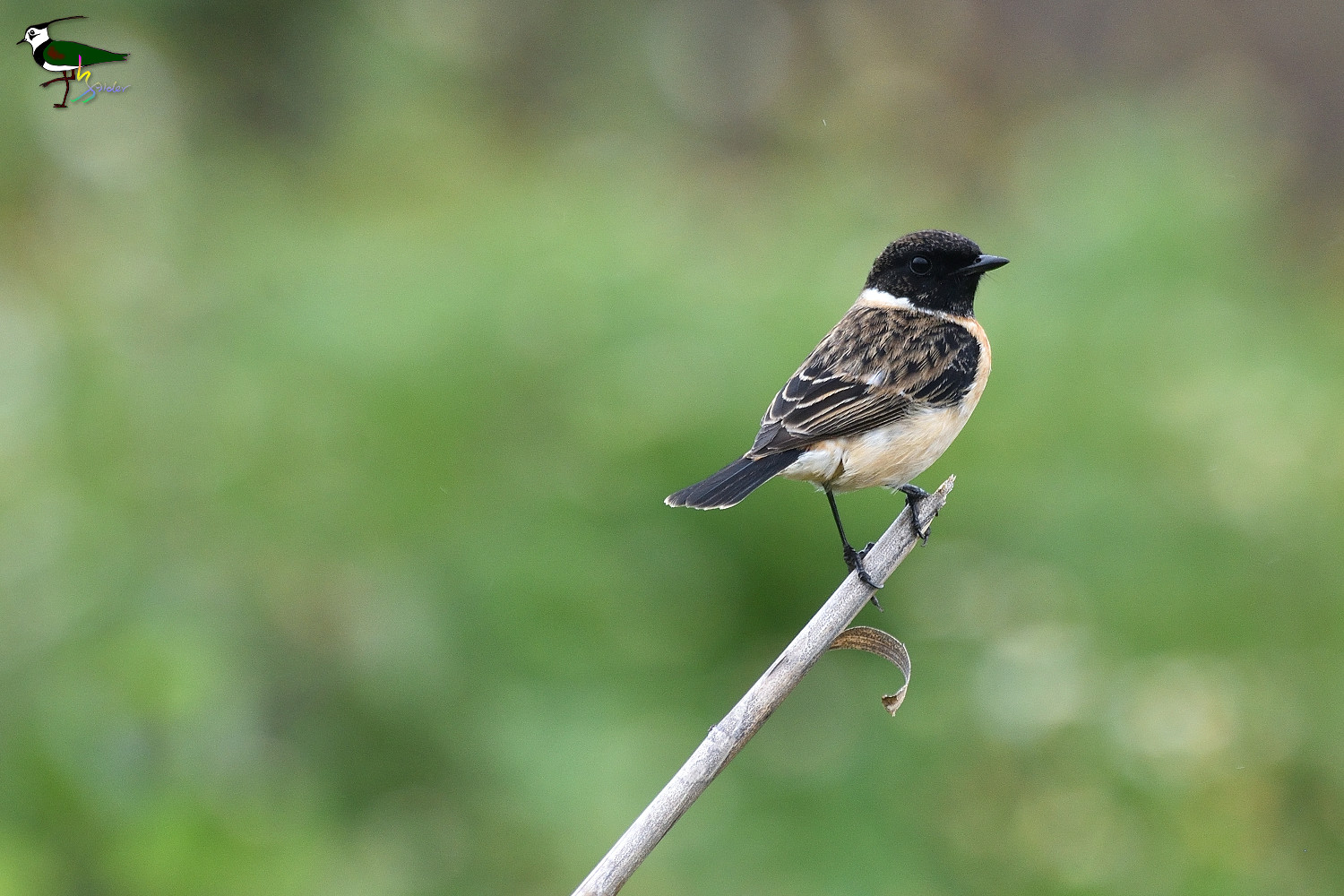 Common_Stonechat_2201